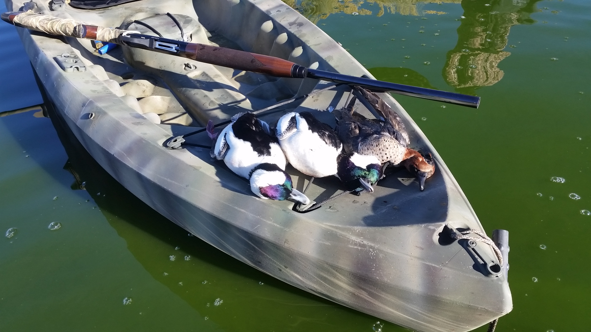 Bufflehead and Green Teel Drakes